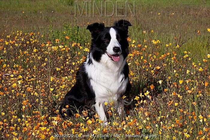 Female Border Collie sitting in wildflowers Goleta, California, USA, February  -  Lynn M. Stone/ npl