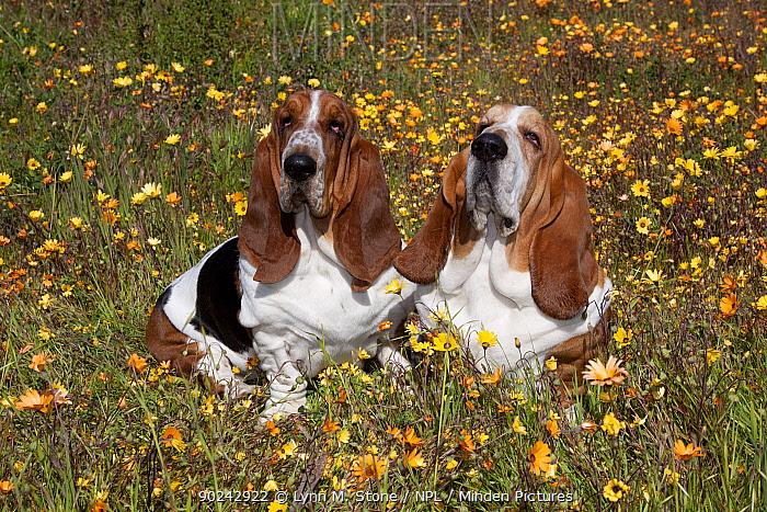 Pair of male Basset Hounds sitting in flowers Goleta, California, USA, February  -  Lynn M. Stone/ npl
