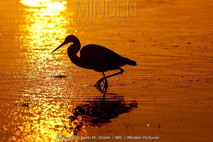 Tricolored Heron (Egretta tricolor) silhouetted at dawn Dunedin, Florida, USA, November  -  Lynn M. Stone/ npl