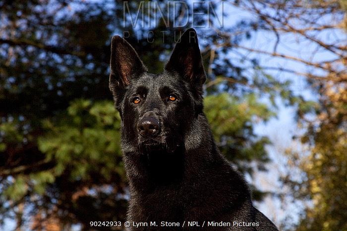 Portrait of German Shepherd, a black male, seen frow a low angle St Charles, Illinois, USA, November  -  Lynn M. Stone/ npl