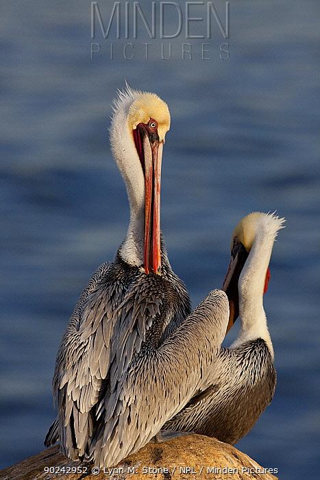 California Brown Pelicans (Pelecanus occidentalis californicus) adults preening at onset of winter breeding plumage preening, on rock cliffs above Pacific Ocean; San Diego, California, USA  -  Lynn M. Stone/ npl
