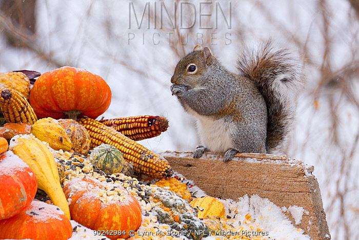 Grey Squirrel (Sciurus carolinensis) feeding on corn and gourds St Charles, Illinois, USA, January  -  Lynn M. Stone/ npl