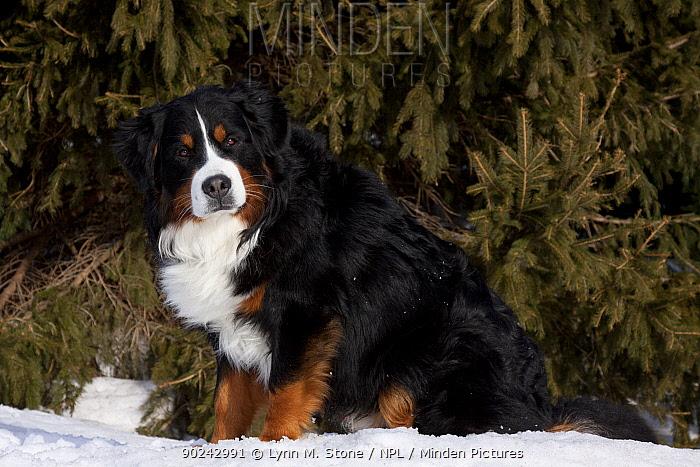Bernese Mountain Dog sitting in snow by spruce tree Elburn, Illinois, USA, February  -  Lynn M. Stone/ npl