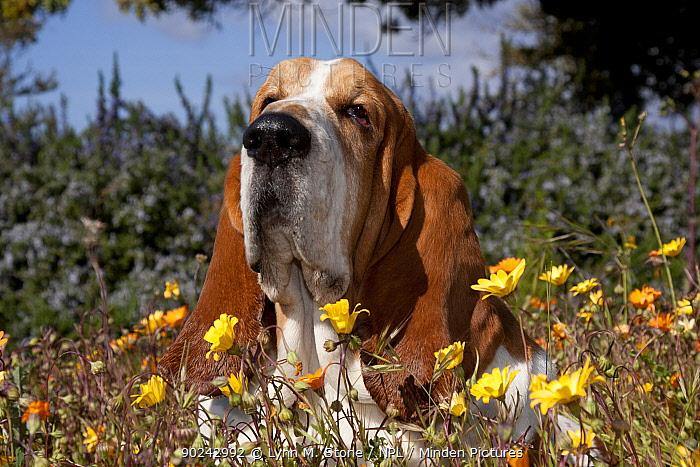 Portrait of a Basset Hound male in flowers Goleta, California, USA, February  -  Lynn M. Stone/ npl