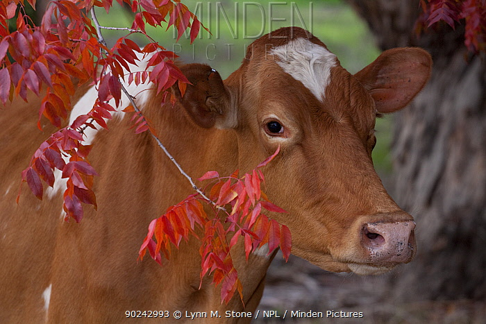 Guernsey Cow (Bos taurus) standing by Chinese Pistachio Tree Temecula, California, USA, December  -  Lynn M. Stone/ npl