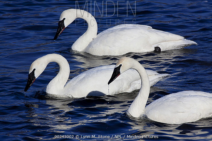 Trumpeter Swans (Cygnus buccinator) with heads up after dipping to feed in shallow waters Mississippi River, Minnesota, USA, February  -  Lynn M. Stone/ npl