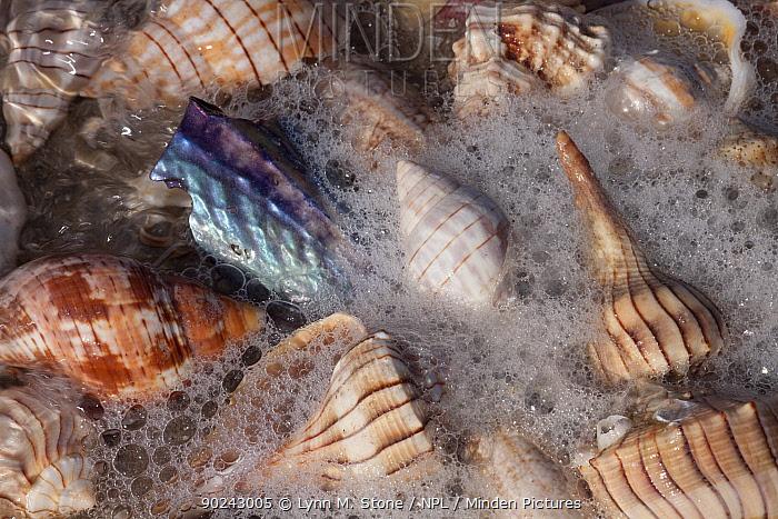Common Florida sea shells in sea foam at edge of surf Lightning Whelks (brown lengthwise stripes), Pen (lavender blue), Tulips (whorled tan striping), et al Tarpon Springs, Florida, USA  -  Lynn M. Stone/ npl
