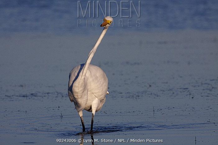 Great Egret (Ardea, Casmerodius alba) adult in non-breeding plumage Tarpon Springs, Florida, USA, November  -  Lynn M. Stone/ npl