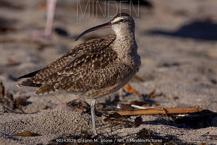 Whimbrel (Numenius phaeopus) on sandy beach Santa Barbara, California, USA, December  -  Lynn M. Stone/ npl