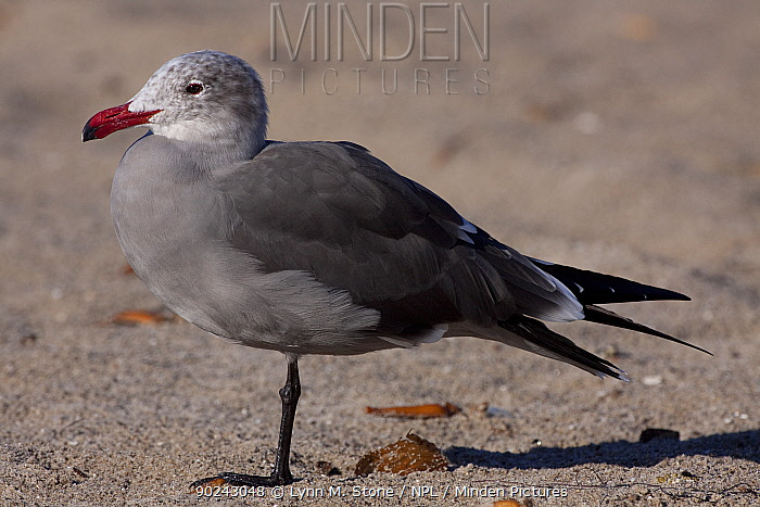 Heermann's Gull (Larus heermanni) adult in winter plumage standing on beach sands Santa Barbara, California, USA, December  -  Lynn M. Stone/ npl