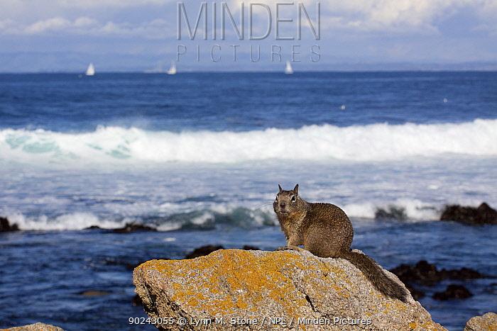 California Ground Squirrel (Spermophilus beecheyi) sitting on rocks in front of the ocean Pacific shore, Monterey Peninsula, California, USA, February  -  Lynn M. Stone/ npl