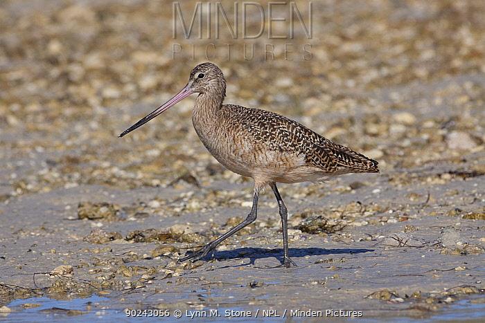 Marbled Godwit (Limosa fedoa) adult in non-breeding plumage walking on tidal flat during extreme low tide Dunedin, Florida, USA, November  -  Lynn M. Stone/ npl