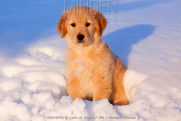 Golden Retriever puppy sitting in snow in late afternoon Big Rock, Illinois, USA, February  -  Lynn M. Stone/ npl