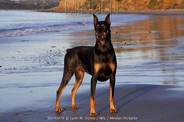 Male Doberman Pinscher standing on a beach Santa Barbara, California, USA, February  -  Lynn M. Stone/ npl