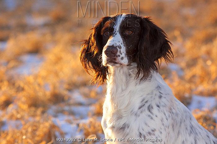 Portrait of English Springer Spaniel (field type) Elkhorn, Wisconsin, USA, January  -  Lynn M. Stone/ npl