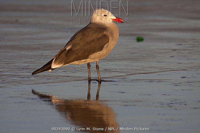 Heermann's Gull (Larus heermanni) standing on wet sand in winter non-breeding plumage Santa Barbara, California, USA, December  -  Lynn M. Stone/ npl