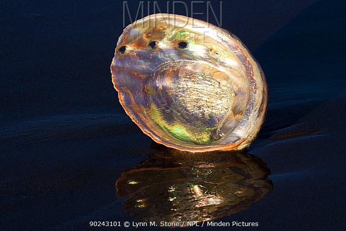 Red Abalone (Haliotis rufescens) shell interior showing nacreous mother of pearl Santa Barbara, California, USA, February  -  Lynn M. Stone/ npl