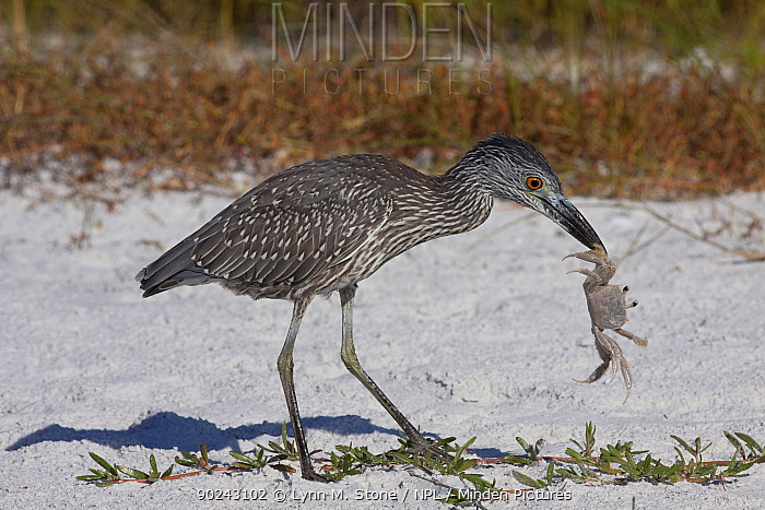 Yellow-Crowned Night Heron (Nyctanassa, Nycticorax violacea) sub-adult with caught ghost crab on beach dune Tampa Bay, Florida, USA, November  -  Lynn M. Stone/ npl