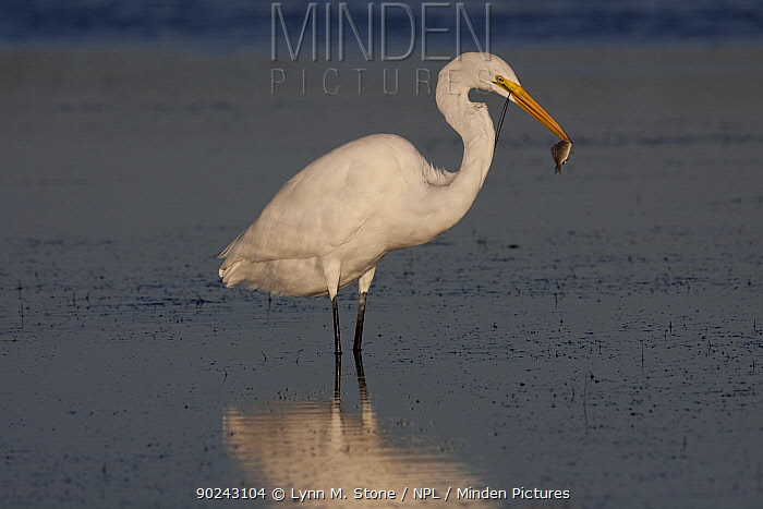 Great Egret (Ardea, Casmerodius alba) adult in non-breeding plumage, with fish it has plucked from sea grass bed at low tide Tarpon Springs, Florida, USA, November  -  Lynn M. Stone/ npl