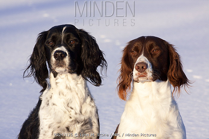 Portrait of a pair of English Springer Spaniels (field type) against snow Elkhorn, Wisconsin, USA, January  -  Lynn M. Stone/ npl