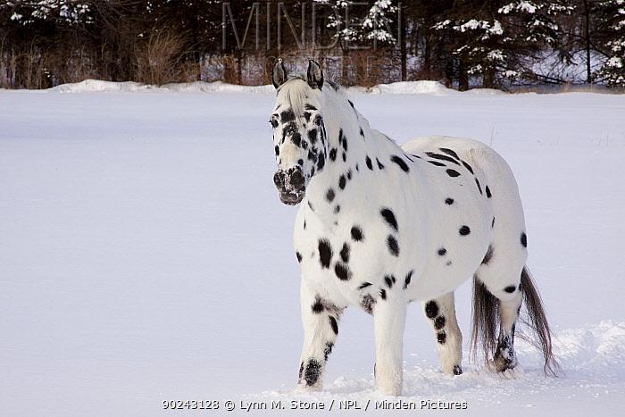 Appaloosa Horse (Equus caballus) gelding, leopard type, standing in deep snow in an open field Elburn, Illinois, USA, February  -  Lynn M. Stone/ npl