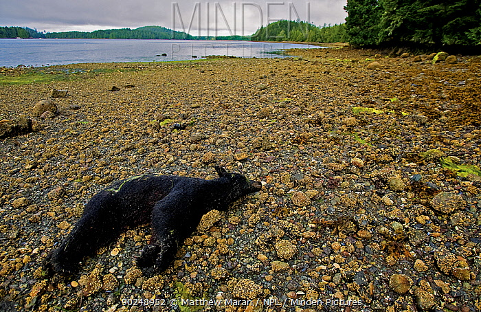 Dead Black Bear (Ursus americanus) on a beach This individual was shot for regularly feeding on nearby fish plant garbage Ucluelet Inlet, Barkley Sound, Vancouver Island, Canada, August 2008  -  Matthew Maran/ npl