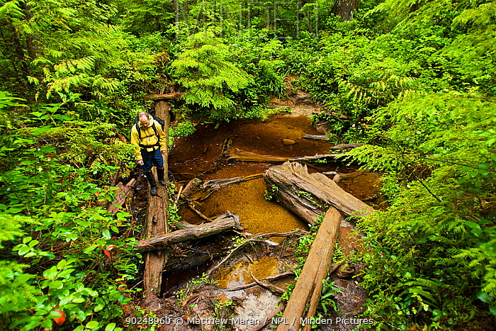 A hiker crossing water over a fallen tree The West Coast Trail, Pacific Rim National Park, Vancouver Island, Canada, September 2010 Model released  -  Matthew Maran/ npl