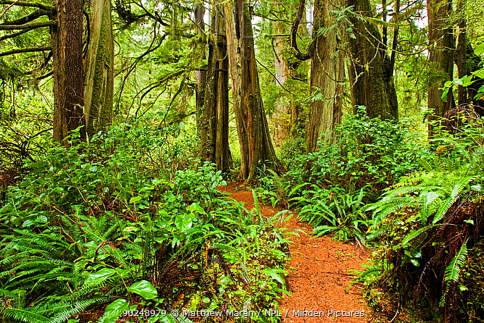 Path through thick undergrowth and tree trunks in a temperate rainforest Wickaninnish Rainforest Trail, Vancouver Island, Canada, March  -  Matthew Maran/ npl