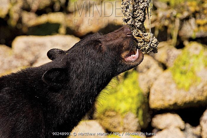Black Bear (Ursus americanus) eating barnacles from a dead tree Clayoquot Sound, Vancouver Island, Canada, June  -  Matthew Maran/ npl