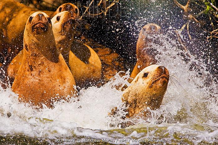 Steller's Sealion (Eumetopias jubata) stampede into the water Clayoquot Sound, Vancouver Island, Canada, March  -  Matthew Maran/ npl