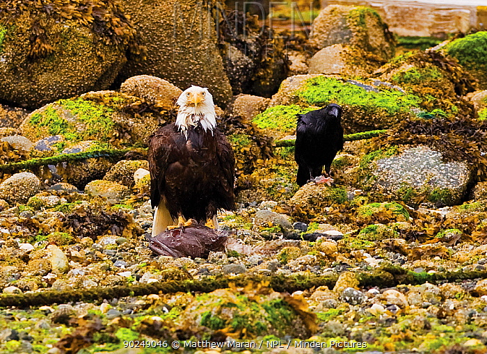 An American Bald Eagle (Haliaeetus leucocephalus) with remains of fish prey while a crow waits for scraps Ucluelet, Vancouver Island, Canada, June  -  Matthew Maran/ npl