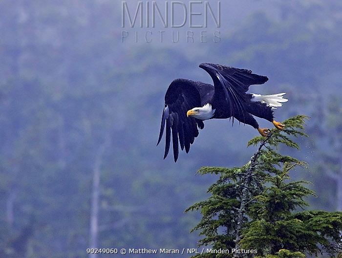 Bald Eagle (Haliaeetus leucocephalus) taking flight from a tree top Clayoquot Sound, Vancouver Island, Canada, September  -  Matthew Maran/ npl