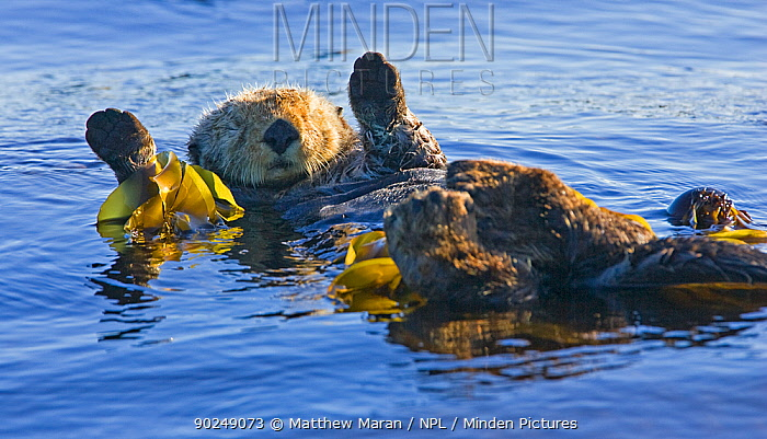Sea otter (Enhydra lutris) resting at the sea surface with paws in the air Barkley Sound, Vancouver Island, Canada, August  -  Matthew Maran/ npl