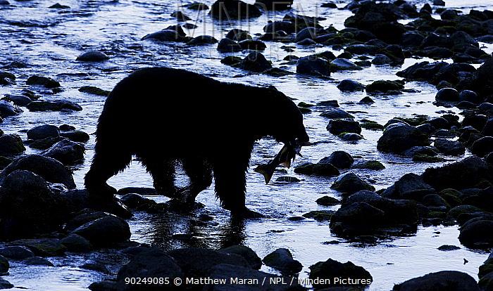 Black Bear (Ursus americanus) with a Chinook Salmon (Oncorhynchus tshawytscha) in its mouth West coast of Vancouver Island, Canada, October  -  Matthew Maran/ npl