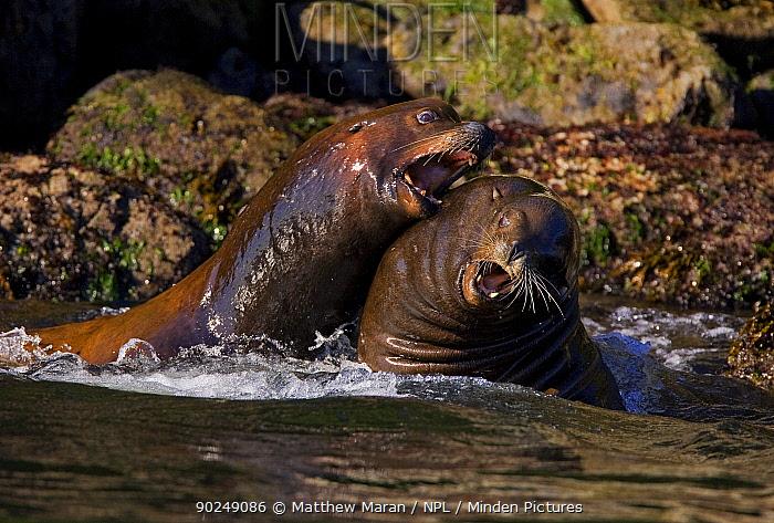 California Sea Lions (Zalophus californianus) fighting in shallow waters Barkley Sound, Vancouver Island, Canada, September  -  Matthew Maran/ npl