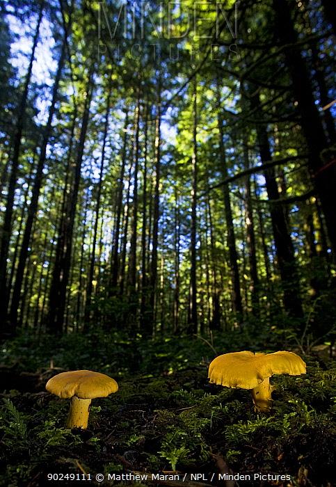 Chanterelle Mushroom (Cantharellus cibarius) growing in their forest habitat West coast of Vancouver Island, Canada, September  -  Matthew Maran/ npl