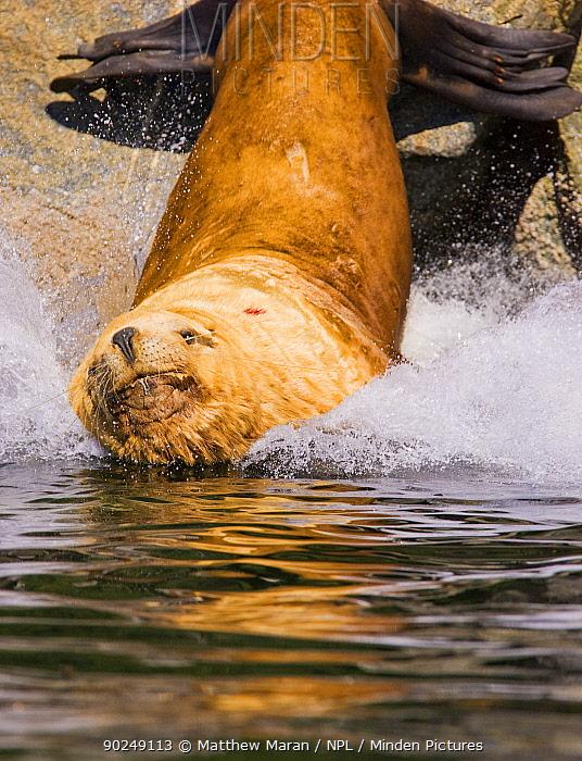 Steller's Sealion (Eumetopias jubata) male splashing into water Barkley Sound, Vancouver Island, Canada, September  -  Matthew Maran/ npl