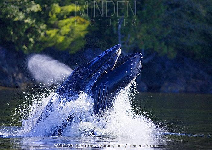 Humpback Whale (Megaptera novaeangliae) lunge feeding Barkley Sound, Vancouver Island, Canada, September  -  Matthew Maran/ npl