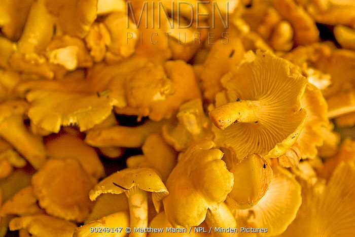 Picked Chanterelle Mushroom (Cantharellus cibarius) West coast of Vancouver Island, Canada, September  -  Matthew Maran/ npl