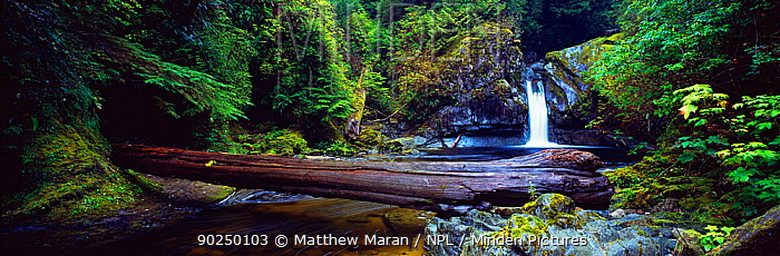 Waterfall on the the Darling River with a fallen tree as a bridge over the waters West Coast Trail, Pacific Rim National Park Reserve, west coast of Vancouver Island, Canada, September 2010  -  Matthew Maran/ npl