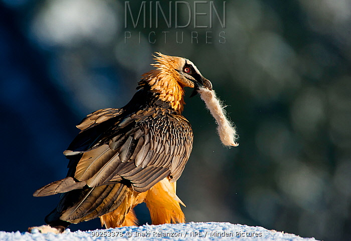 Lammergeier, Bearded Vulture (Gypaetus barbatus) with the leg of a rabbit in its mouth, which the bird uses as nesting material Ordesa National Park, Aragon, Spain, November  -  Inaki Relanzon/ npl