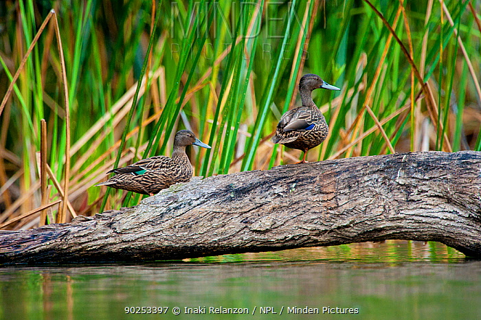 Meller's Duck (Anas melleri) standing on a trunk over water Bemanevika protected area, north Madagascar, Africa  -  Inaki Relanzon/ npl