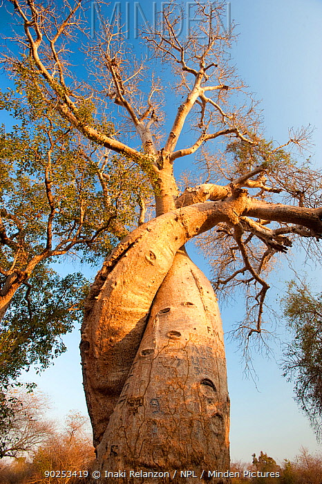 The Lovers Baobabs (Adansonia grandidieri) Near Morondava, Madagascar, Africa, September 2010  -  Inaki Relanzon/ npl