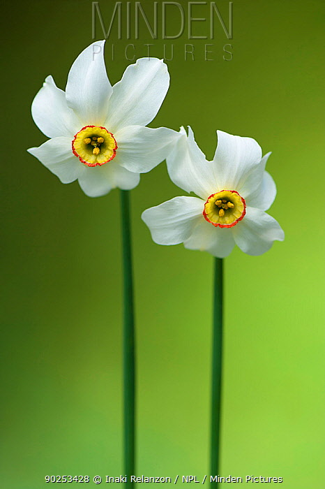 Poet's Daffodil (Narcissus poeticus) Montseny Nature Reserve, Barcelona, Catalonia, Spain, May  -  Inaki Relanzon/ npl