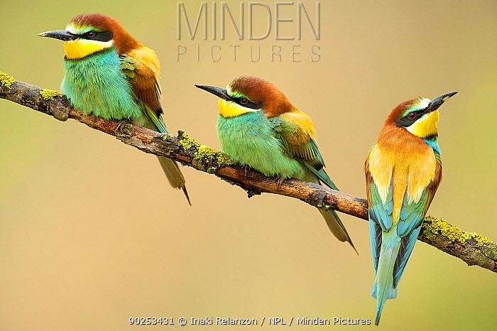 European Bee-eaters (Merops apiaster) perching The Pyrenees, Spain, May  -  Inaki Relanzon/ npl
