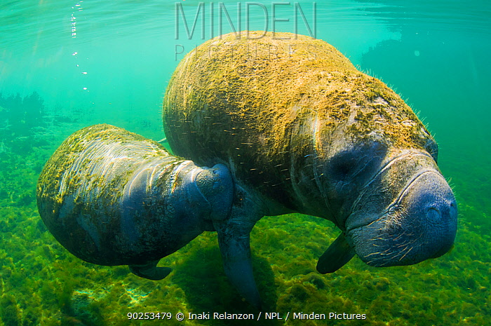 Manatee (Trichechus manatus) mother and calf swimming side by side Crystal River, Florida, USA, April  -  Inaki Relanzon/ npl