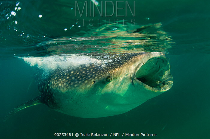 Whale Shark (Rhincodon typus), eating krill and plankton at the surface Gulf of Mexico, Mexico, North America, August  -  Inaki Relanzon/ npl