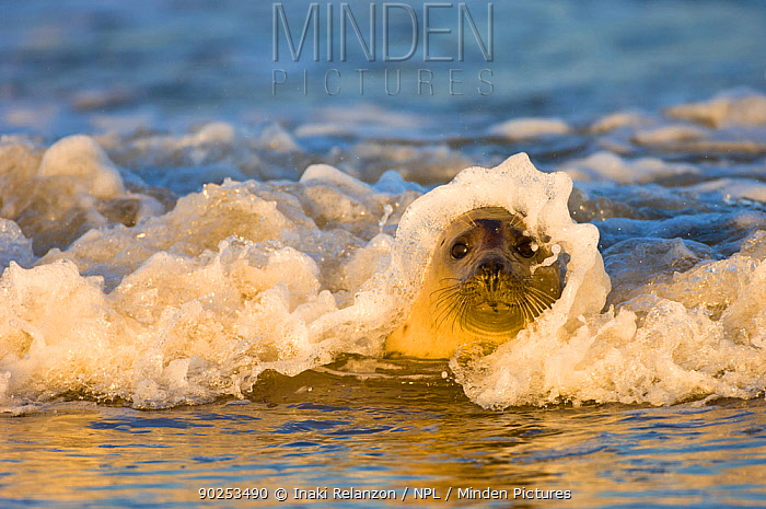A wave breaking over the head of a Grey Seal (Halichoerus grypus) Donna Nook, Lincolnshire, UK, Europe, November  -  Inaki Relanzon/ npl