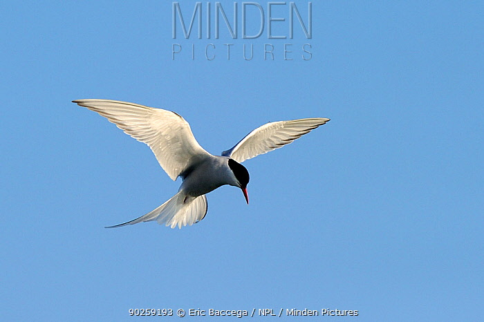 Arctic Tern (Sterna paradisaea) in hovering flight with sunlight shimming from its wing feathers Foxe Basin, Nunavut, Canada, April  -  Eric Baccega/ npl