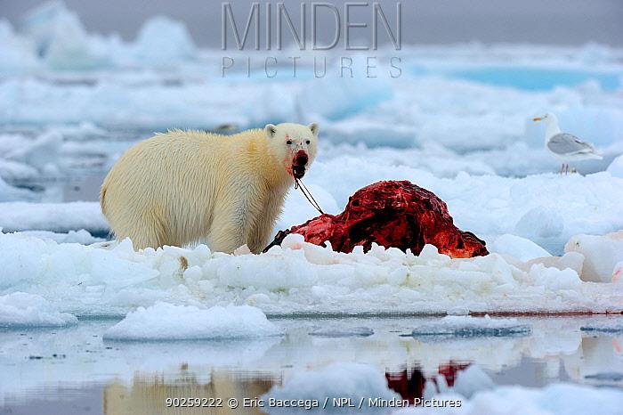 Polar Bear (Ursus maritimus) feeding on a Narwhal (Monodon monoceros) on icepack as a gull waits to scavenge the carcass Floe edge, Arctic Bay, Baffin Island, Nunavut, Canada, April  -  Eric Baccega/ npl